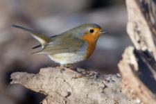 Stunde der Wintervögel: Welche Vögel sind noch da?